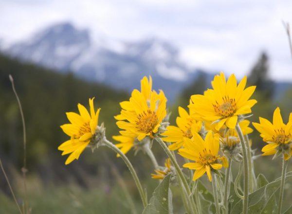 Homeopatian aakkoset: A niin kuin Arnica