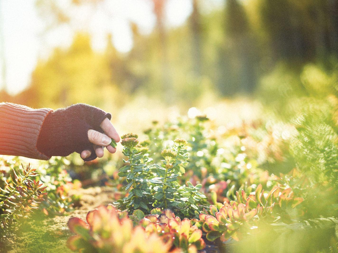 ruusujuuri luonnossa