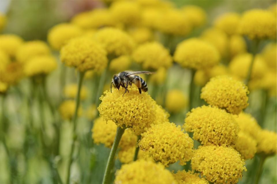 Homeopaattinen hoito voi auttaa siitepölyaikaan.